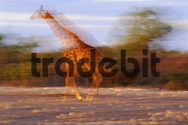 Running giraffe  Giraffa camelopardalis  - Etosha National Park - Namibia