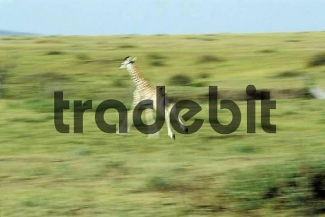 Running baby giraffe  Giraffa camelopardalis  - Etosha National Park - Namibia