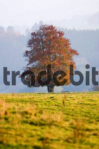 Autumnale colored single beech tree on a meadow in evening light