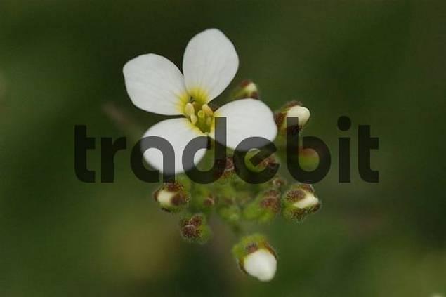 white blossoms Arabis caucasica
