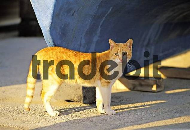 Cat - Lanzarote - Spain