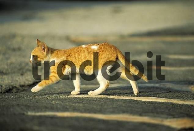 Yellow-brown kitten Lanzarote Spain