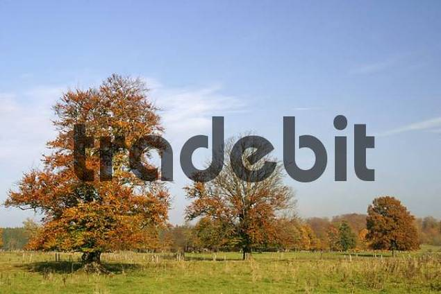Autumnale colored beech trees on a meadow in the Westerwald, Hessen, Germany