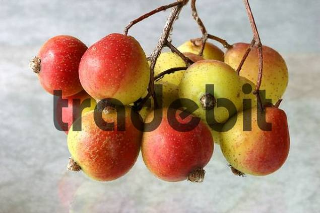 Fruits of the service tree Sorbus domestica