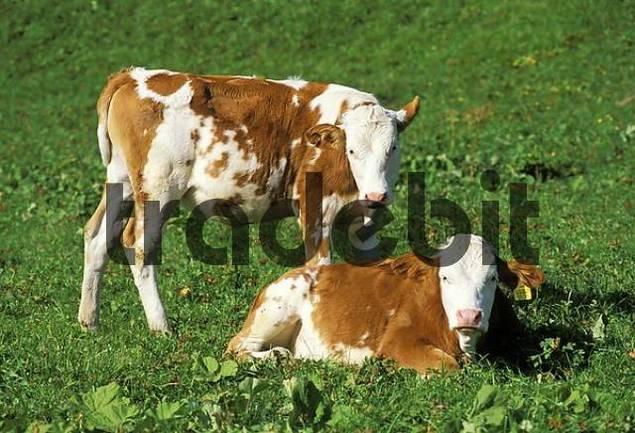 Two bavarian calfs