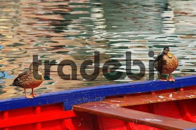 ducks on a rowboat, Lazise, Lake Garda, Italy