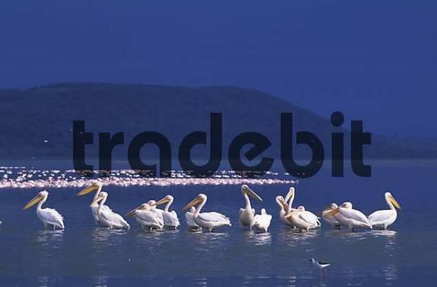 Eastern White Pelicans  Pelecanus onocrotaluis - Lake Nakuru - Kenya