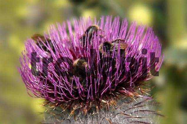 cotton thistle Onopordum acanthium L., blossom with visitors, national park Hohe Tauern, Austria