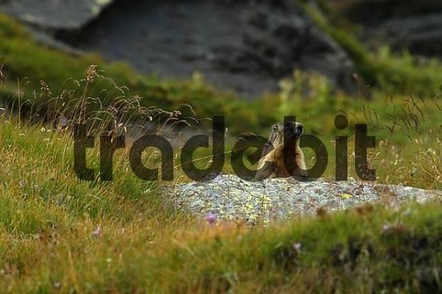 marmot, national park Hohe Tauern, Austria
