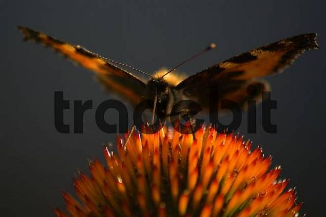butterfly Small Tortoiseshell Aglais urticae sitting on Purple Coneflower
