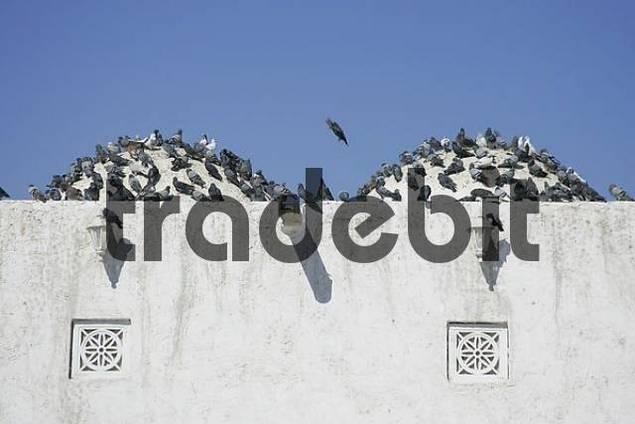 Qatar, Doha, Qassim mosque, many pigeons on the roof