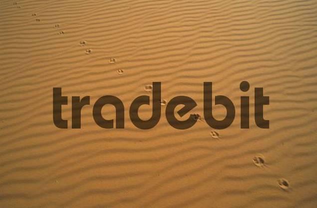 animal tracks in the sand of Erg Ubari, Idhan Awbari, Libya