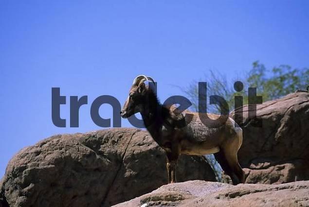 usa arizona tuscon sonora desert museum bighorn sheep