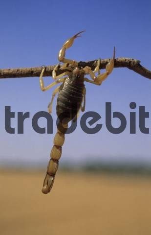 scorpion hanging on a wooden stick