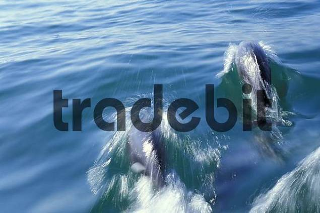 White-sided Dolphins  Lagenorhynchus acutus  near Swakopmund, Namibia