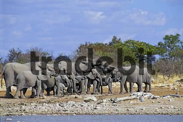A herd of Elephants  Loxodonta africana  at Kalkheuwel waterhole - Etosha National Park Namibia