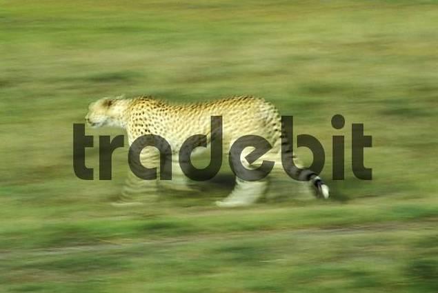 Running cheetah Acinonyx jubatus Masai Mara Kenya