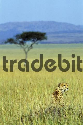 Cheetah Acinonyx jubatus sitting in high grass in the steppe - Masai Mara - Kenya