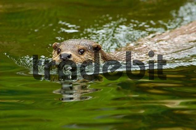 swimming European Otter Lutra lutra lutra