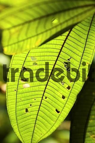 Tropical leaves Amazon region Brazil