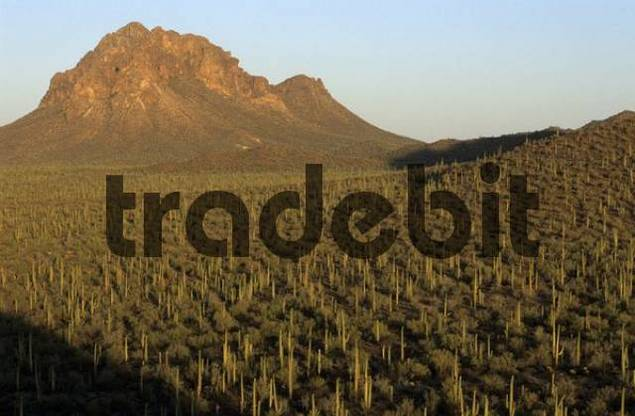 mountain and valley with saguaros in the Ironwood National Monument, Arizona, USA