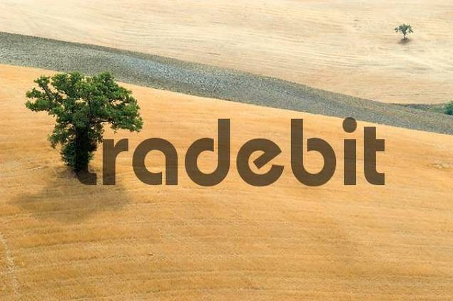 trees in a mowed field, Crete, Tuscany, Italy