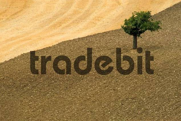 tree in a mowed field, Crete, Tuscany, Italy