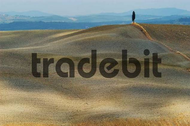 cypress on a hill, Crete, Tuscany, Italy
