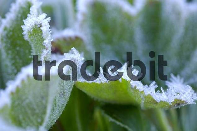 ladys mantle alchemilla in meadow with glaced frost