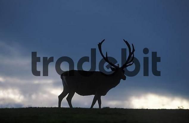 fallow deer Cervus dama Dama dama Austria