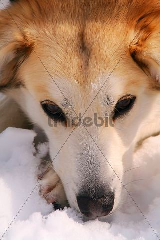 portrait, sled dog, resting, Yukon Territory, Canada