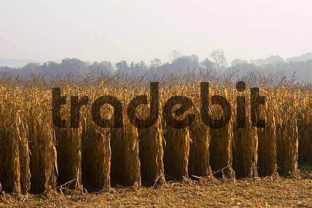 Hartberg Steiermark Austria corn in the autumn