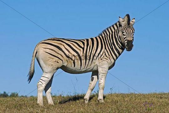 Zebra (Equus quagga) in the Addo National Park Soth Africa, Africa
