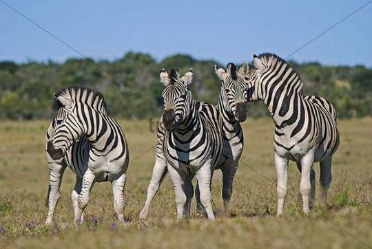 Zebras (Equus quagga) in the Addo National Park Soth Africa, Africa