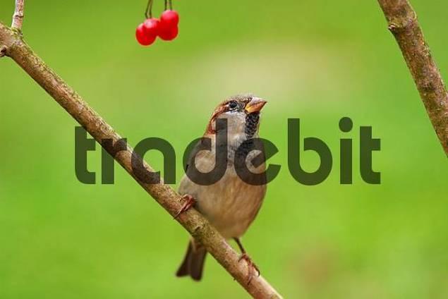 House Sparrow Passer domesticus