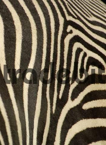 coat of zebra, grevyzebra, detail