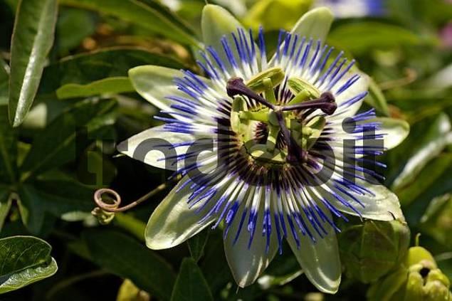 passion flower Passiflora caerulea close up