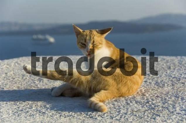 redtabby cat in front of caldera, Oia, Santorini, Cyclades, Aegean Sea, Greece