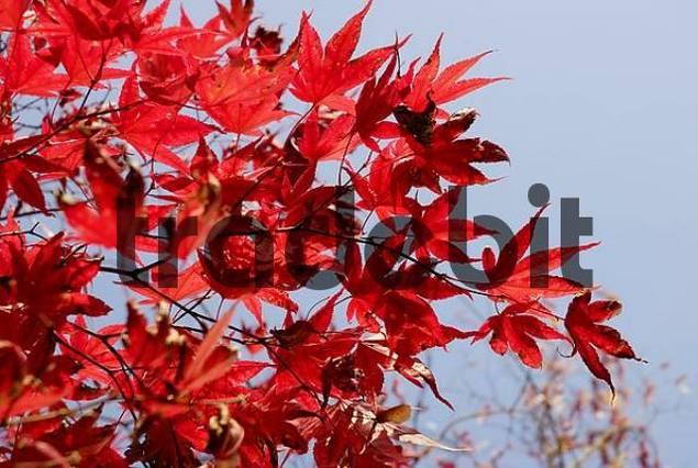 Gorgeous red autumnal leaves of japanese maple, acer palmatum atropurpureum, aceraceae