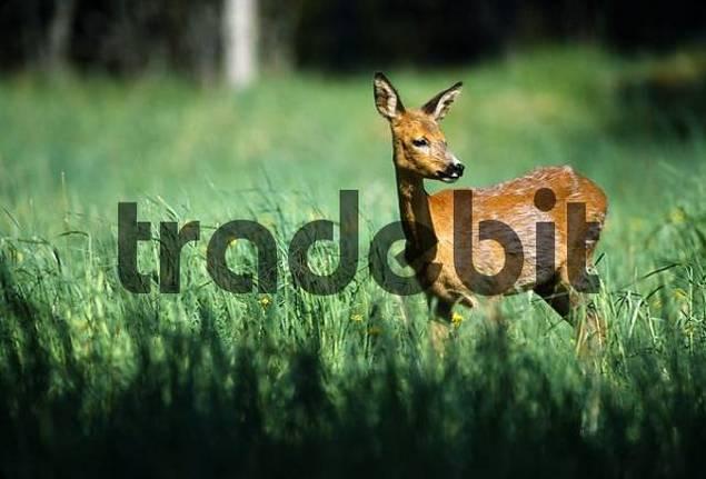 Roe Deer Capreolus capreolus is watching, Sweden