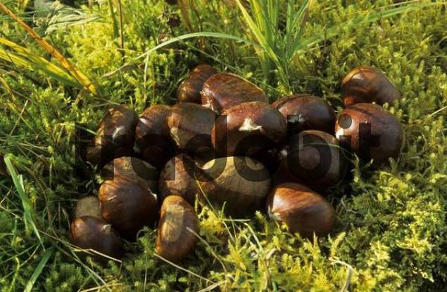 edible chestnuts in grass, Val Bregaglia, Bergell, Switzerland