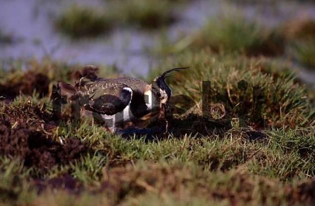 Northern Lapwing Vanellus vanellus, adult bird catching worm in wet greenland areas, Ellewick, Muensterland, Nordrhein-Westfalen, Germany