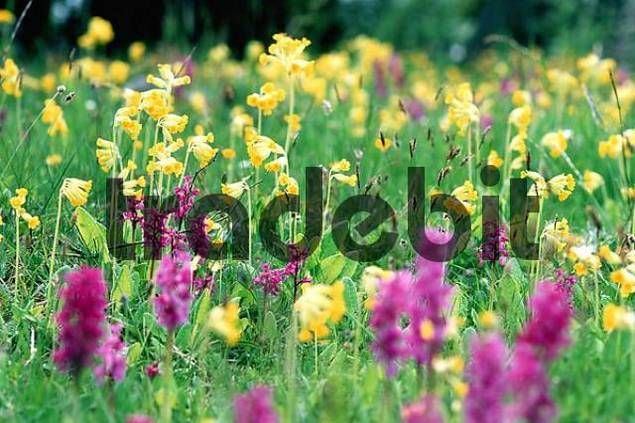 Colourful flower meadow in spring with blooming Primroses Primula spec. and orchids Dactylorhiza spec.