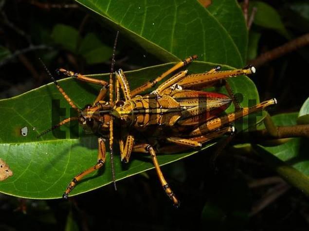 Eastern lubber grasshoppers Romalea guttata, mating
