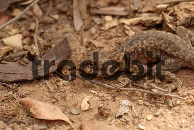 Etheridges Lava Lizard Tropidurus etheridgei, Gran Chaco, Paraguay