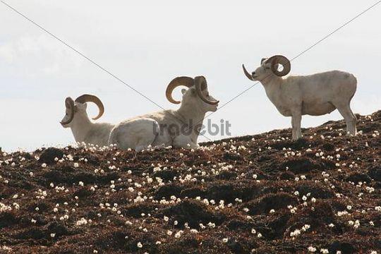 Dall Sheep rams, Ovis dalli dalli, Eriophorum, Cottongrass, Sheep Mountain, St. Elias Mountains, Kluane National Park, Yukon Territory, Canada