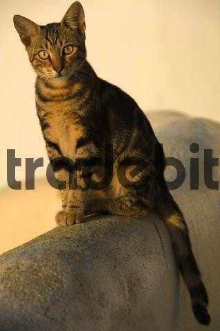 cat, Oia, Santorini, Cyclades, Aegean Sea, Greece