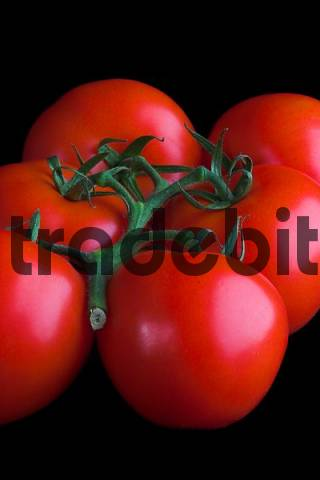 bunch of tomatoes, isolated on black