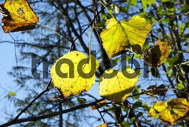 Backlight picture of autumnal hazelnut leaves Corylus colurna