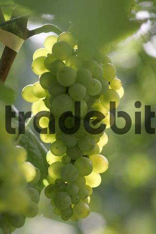 white burgundy grape vine with grapes